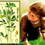 Дар природы Шамбала или Пажитник сенной